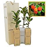 MADROÑO arbolito de pequeño tamaño en caja de madera. Alveolo forestal del arbusto...