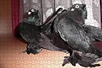 LHJOY ジグソー500個鳥鳩動物子供女の子のための誕生日プレゼントとホリデーギフト 52x38cm