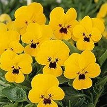 viola sorbet yellow