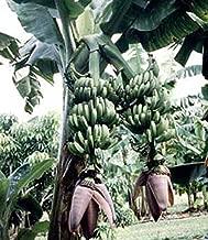 1 Bulb of Musa Double 'Mahoi' Banana Plant