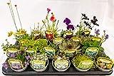 20 Varieties of Mixed Alpine Rockery Plants in 9cm pots.