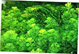 EFRESH Aquarium Plants Cabomba Caroliniana Fanwort Tropical Live Plants Bunch - EB143