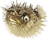 Puffer Porcupine Real Blowfish Nautical Fish...