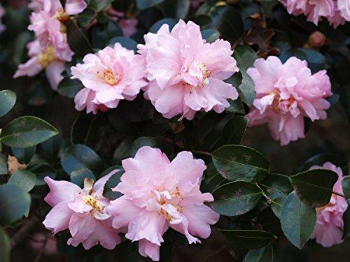 Best pink camellia