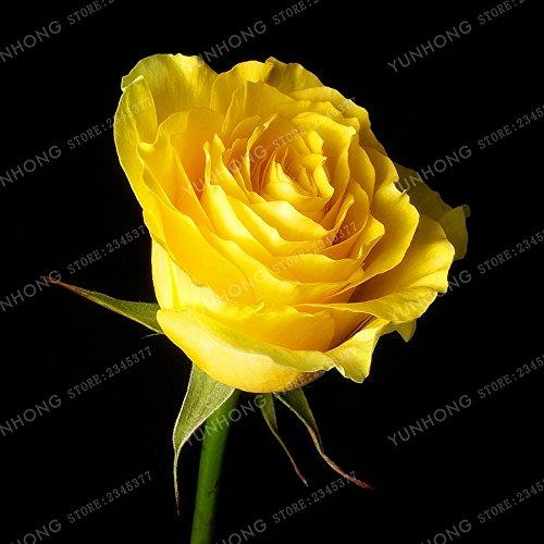 50 Pcs / Sac rares Graines Rose 24 couleurs au choix Belles graines de fleurs vivaces Balcon Jardin en pot Plante bricolage jardin 16