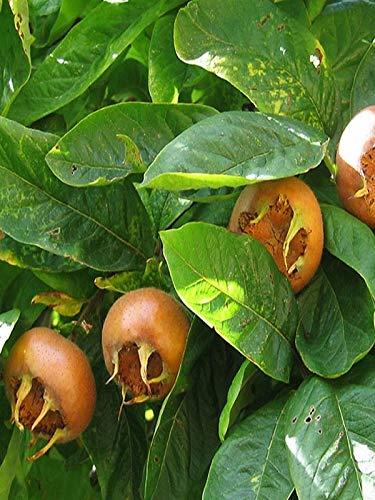 Pianta di Nespolo di Germania vera da frutto già innestato Altezza REALE 110cm