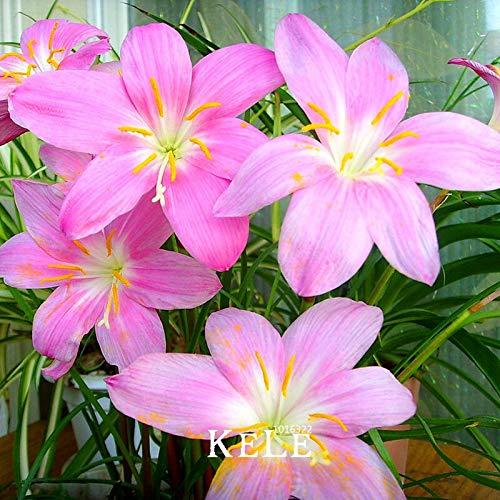 Großer Verkauf!Rosa Narzissen Samen Schöne Narzissen Blumensamen Saubere Luft Narzisse Samen Blumen Für Zimmer, 100 Samen/Pack