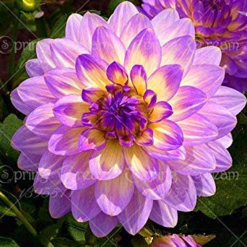 Fash Lady Echte Dahlienzwiebeln, DahlienblüTen, (Nicht Dahliensamen), Bonsai Blumenzwiebeln, symbolisiert Mut und Glück, Hausgarten Pflanze-2 Zwiebeln 18