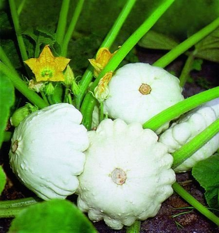 Vegetable - Kings Seeds - Picture Packet - Squash Patty Pan - Custard White - 25 Seeds