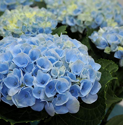 【 花想久里 はなおくり 紫陽花 あじさい 青 5寸 生 】 6月22日新たに入荷 父の日 マジカルレボリューション という品種 暑さに強いなが~く楽しめる品種です 優しい青色 の ハイドランジア マジカルシリーズは 渋い 秋色 になるまで長く楽しめる フラワーギフト 誕生日 その他の お祝い事 にも アジサイ の 鉢花 綺麗な 青色