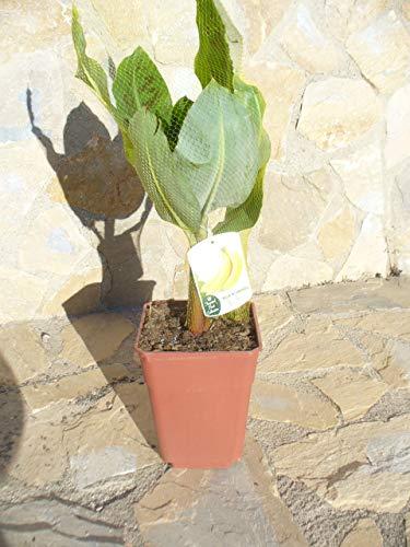Echte - Musa acuminata, eine Bananen Pflanze ca. 65-75 cm essbare Frucht