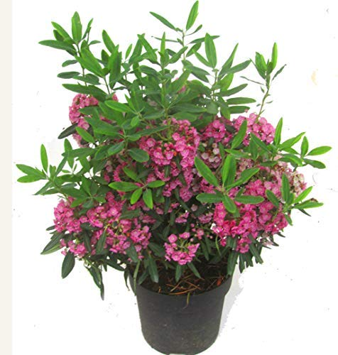 Kalmia angustifolia 'rubra' - rotes...