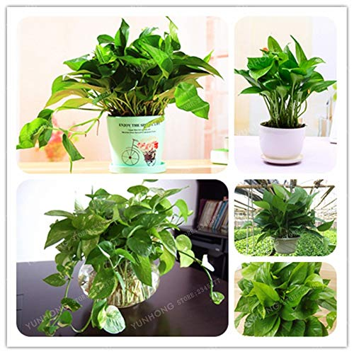 10 Pcs Scindapsus Seeds Four Season Sowing Potted Indoor Balcony Interior Radiation Necessary World Rare Flower Seeds For Garden