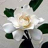 クチナシ:八重咲きクチナシ4.5~5号ポット[香りのよい花を咲かせる低木の常緑花木]