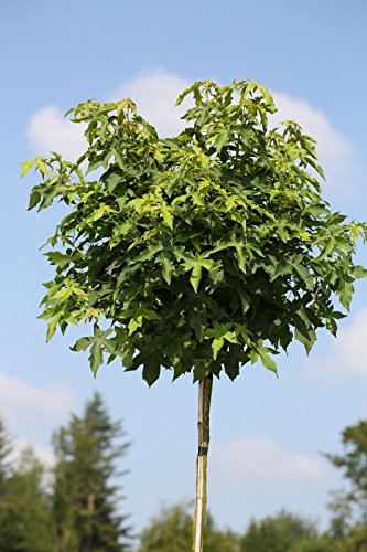 Amberbaum, Höhe: 180-190 cm, Liquidambar styraciflua Gumball + Dünger