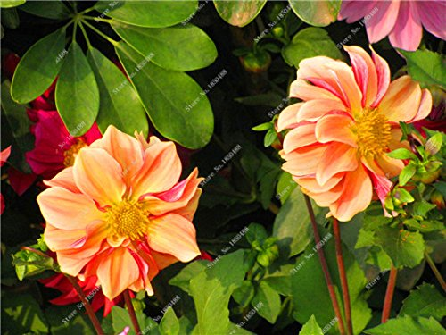 Double Dahlia Seed Mini Mary Fleurs Graines Bonsai Plante en pot bricolage jardin odorant Fleur, croissance naturelle de haute qualité 50 Pcs 13