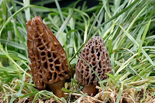 Mycélium de Morille Conique Kit de culture champignons 15ml/50 ml Mushrooms (tube, 50ml)