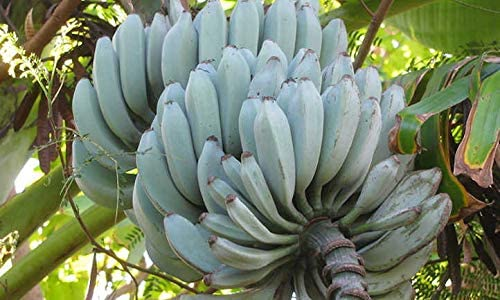 Blue Java Banana At the price of surprise Plant Between 4 Inches No and Low price 6 Pot