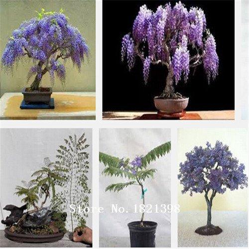 graines de jasmin, de plantes ligneuses vivaces graines de jasmin blanc, riche arôme, 50pcs graines de fleurs