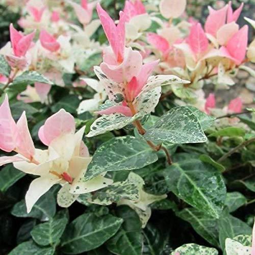 """Trachelospermum jasminoides """"Tricolor"""" (Rhyncospermum – Gelsomino) [Vaso Ø14cm]"""