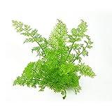 Sumatrafarn / Ceratopteris thalictroides - 1 Bund - Aquarium-Pflanze