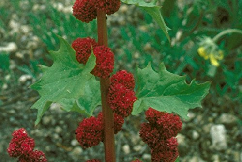 Chenopodium capitatum - Ungarischer historischer Erdbeerspinat, lecker-20 Samen!, von unserer ungarischen Farm samenfest, nur organische Dünger, KEINE Pesztizide, BIO hu-öko-01
