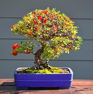 JAPANESE QUINCE - 30 bonsai seeds - Chaenomeles japonica - shrub