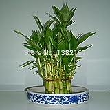 2014 reales Semillas mixtas 15 pedazos/porción Semillas de bambú de la suerte, Balcón maceta,...