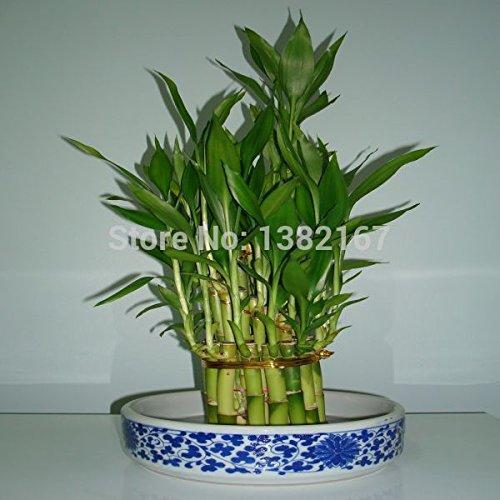 2014 Immobilier Sementes Mixed 15 Pieces / lot Graines Lucky Bamboo, Balcon en pot, en plein air Graines de plantes d'intérieur pour jardin