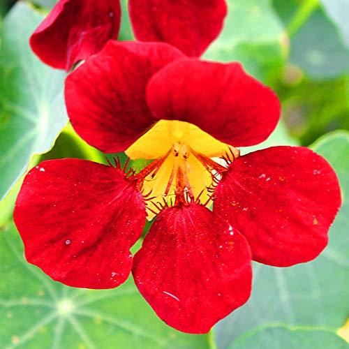 Eastbride Blumensamen für Garten Balkon,Vier Jahreszeiten leicht zu Pflanzen Kapuzinerkresse Samen, Innenbalkon Topf Kapuzinerkresse Kapuzinerkresse-250g,Lange Blütezeit winterhart