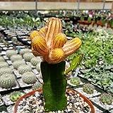 FARMERLY Chamae lu gepfropft Cacti Saftige Re by -