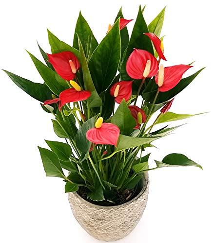 ANTHURIUM ROSSO MILLION FLOWERS IN VASO PIETRA, pianta vera