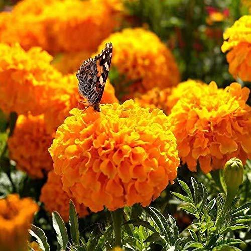 200 Pcs Mixed African Marigold Seeds Plant Fresh Garden Seeds, Gardeners Choice!(Mixed Color)