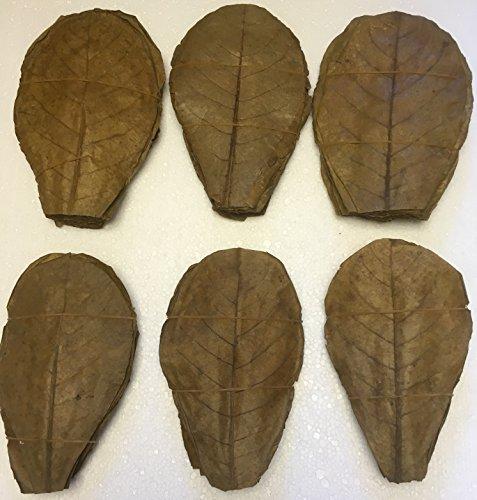 100 Seemandelbaumblätter ~20cm / Catappa Leaves / Indian Almond - Natürlicher Wasseraufbereiter für gesunde Fische und Garnelen