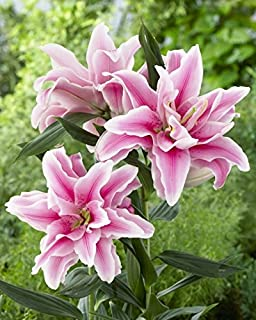 5 Bulbs Double Oriental Roselily Belonica. End of Season Clearance Price!