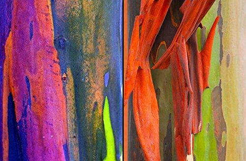 Eucalyptus Deglupta - Rainbow Gum - Seltener exotischer tropischer Baum Bonsai Samen (30+)