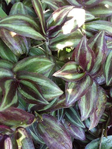 FERRY Bio-Saatgut Nicht nur Pflanzen: Seed 40 Ering Jude Zebrina Pendula Bodendecker Perennis es by