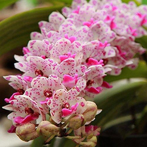 Ncient 100 Semillas de Cymbidium Semillas para Huertos Semillas Flores Raras Plantas Bonsai para Jardín Balcon Interior y Exteriores
