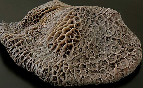 国産牛 生 ハチノス 1枚 (800g~1kg) ハチの巣 国産 牛肉 ホルモン トリッパ 焼き肉 焼肉 牛肚 煮込み