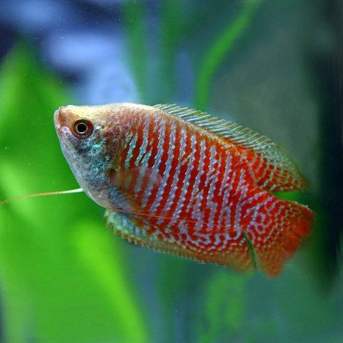 (熱帯魚)ドワーフグラミー (約5cm)<1ペア>[生体]