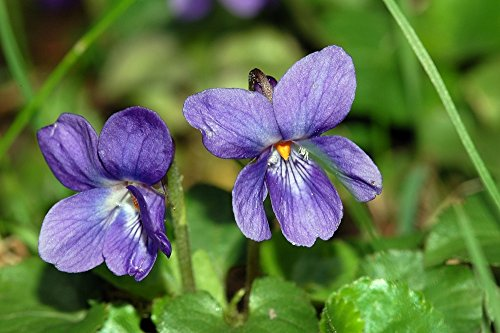 Top 10 Best violet essential oil 100% pure Reviews