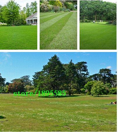 Semences de gazon spécial Graines semences fraîches vert tendre Runner Lawn Evergreen vivaces 200 particules / un pack professionnel