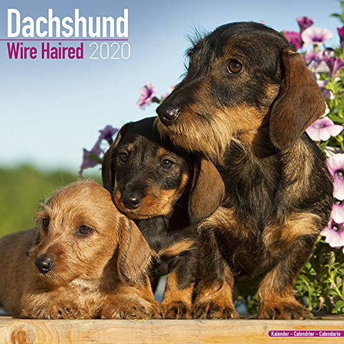 Avonside Publishing Ltd: Dachshund Wire Haired Calendar 2020