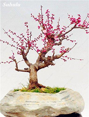 10 Pcs Plum Graines de fleurs, hiver Blooming Fragrant Arbuste Fleur froide Hardy, Graine Pot d'intérieur/extérieur Famille Facile à Plante
