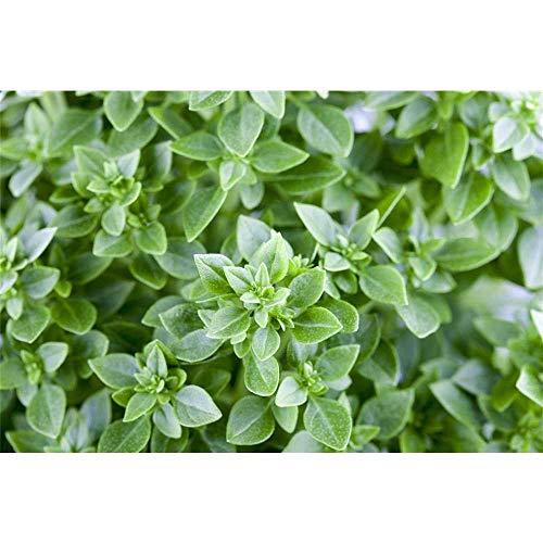 Feinblättriger grüner Basilikum, Ocimum basilicum 'Feinblättriges Grünes' - Kräuterpflanze im Topf 11 cm, in Gärtnerqualität - 11 cm