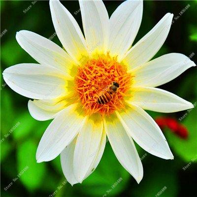 Double Dahlia Seed Mini Mary Fleurs Graines Bonsai Plante en pot bricolage jardin odorant fleur, croissance naturelle de haute qualité 50 Pcs 7