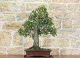 bonsai di quercia - leccio (47)
