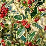 """Ilex aquifolium """"Argentea Marginata"""" (Agrifoglio) [Vaso Ø18cm]"""