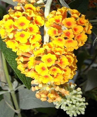 Buddleja davidii Golden Glow - Schmetterlingsstrauch - 60-80 cm