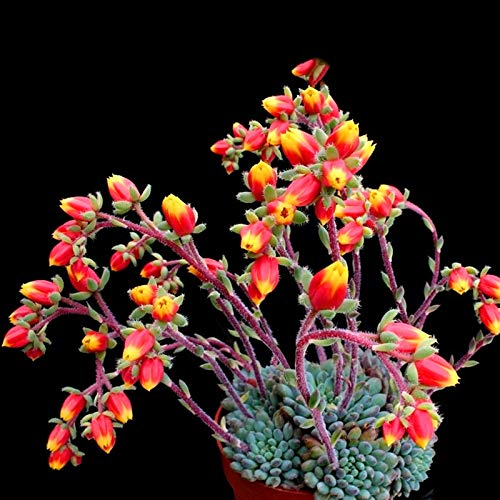 FATO. Egrow 20Pcs / Packung Kakteensamen Kaktus Rebutia Variety Blütenfarbe Cacti Rare Kaktus-Garten-Büro-Mini Sukkulente
